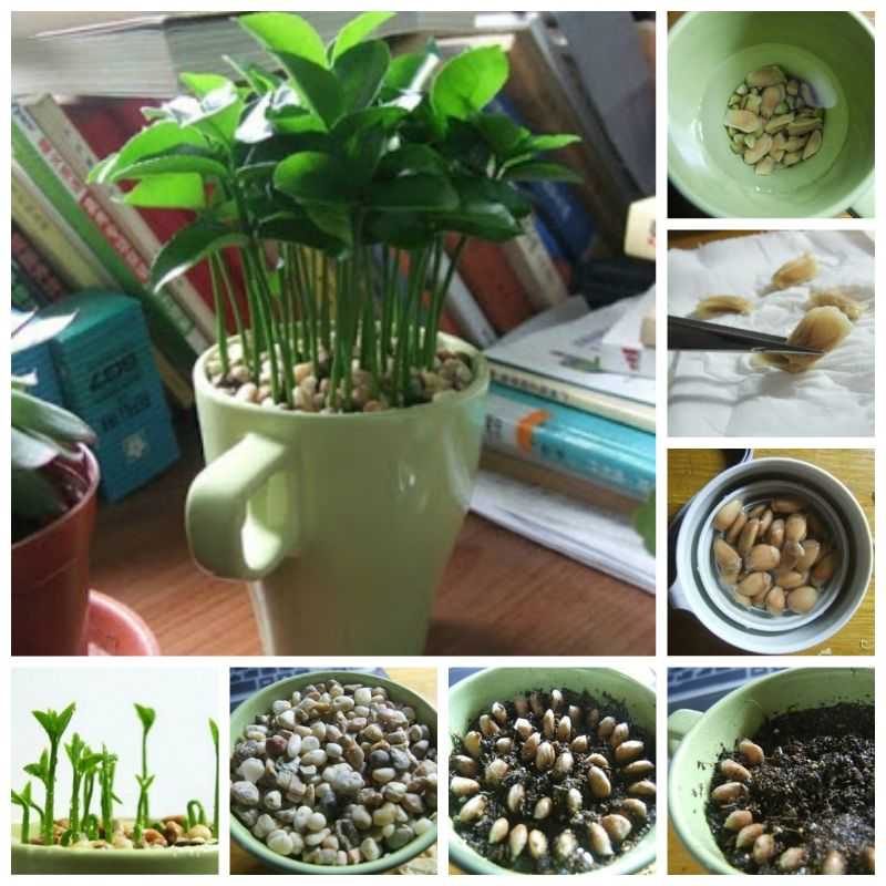 Diy How To Grow A Lemon Tree From Seed In Pot